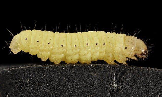 Wax-worm