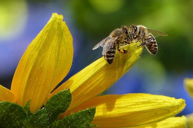 2 Bees on yellow flower