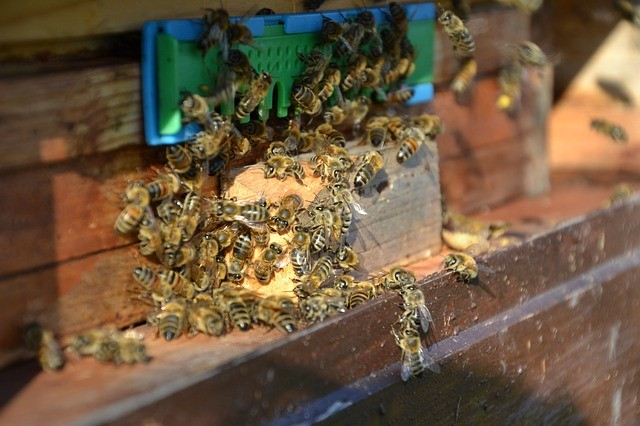 Bees entering their home