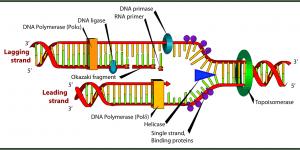 Description of DNA