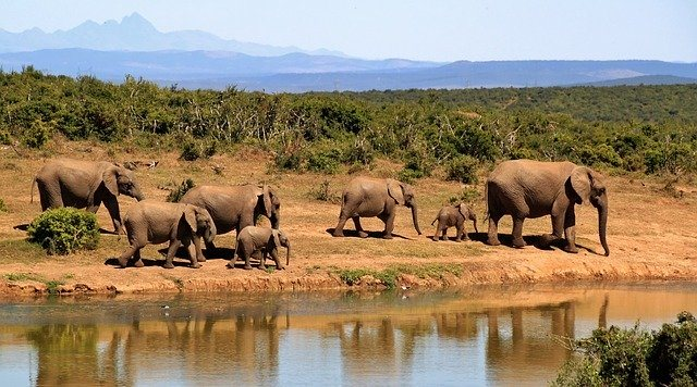 Group of elephants with babies at a water hole