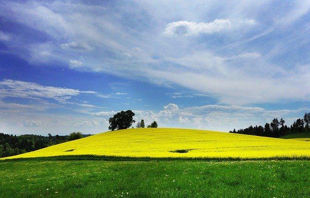 Field of rapeseeds