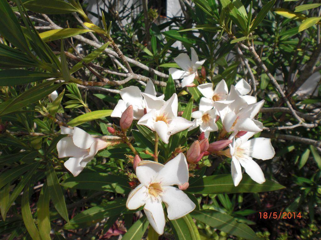 adelfa flowers