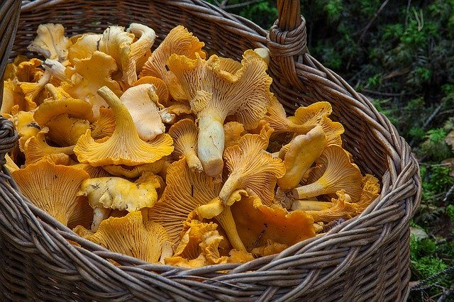 Basket with Chantarelle