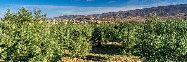 A Spanish olive grove