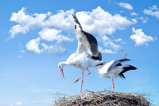 Stork parents on their nest