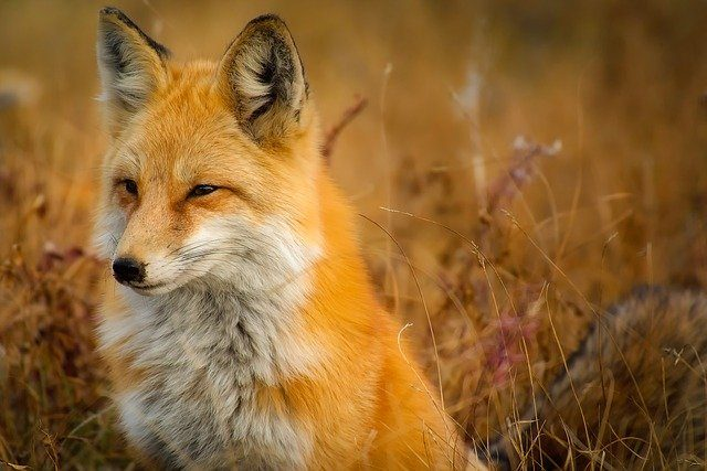 Fox on the look out