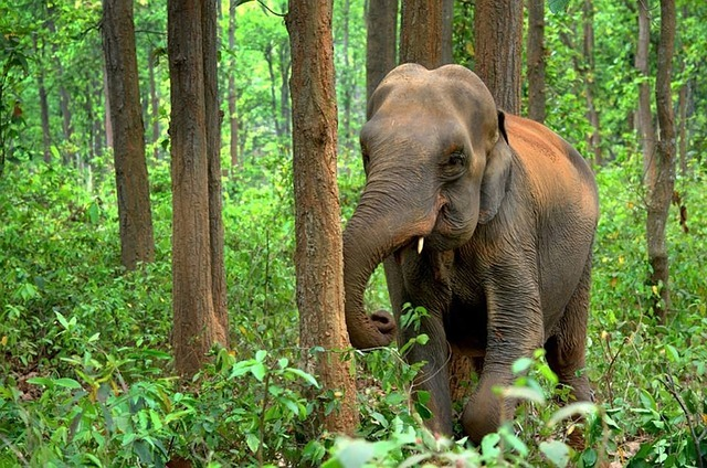 Elephant in the woods