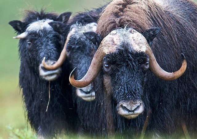 A group of Muskox