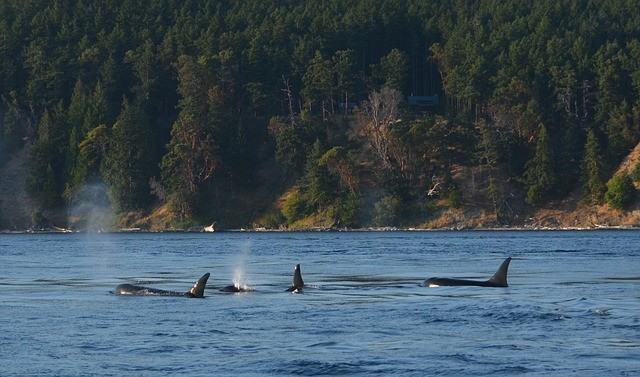 Orcas swimming off the coast