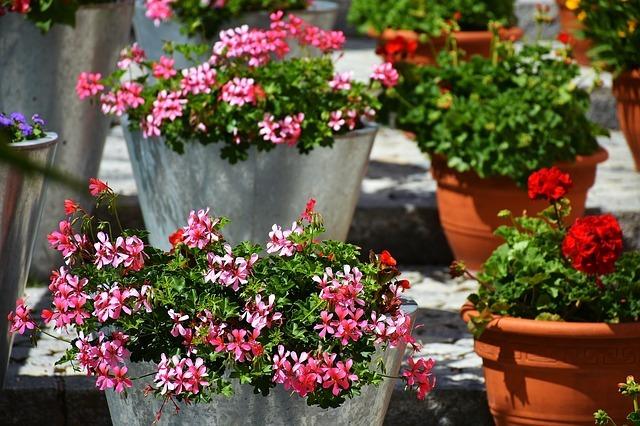 Geraniums in Pots