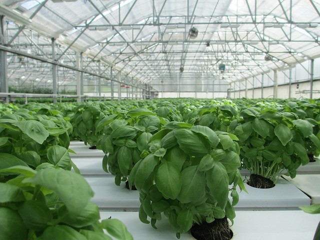 Basil plants growing in greenhouse