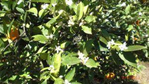 orange blossom and oranges on thr tree