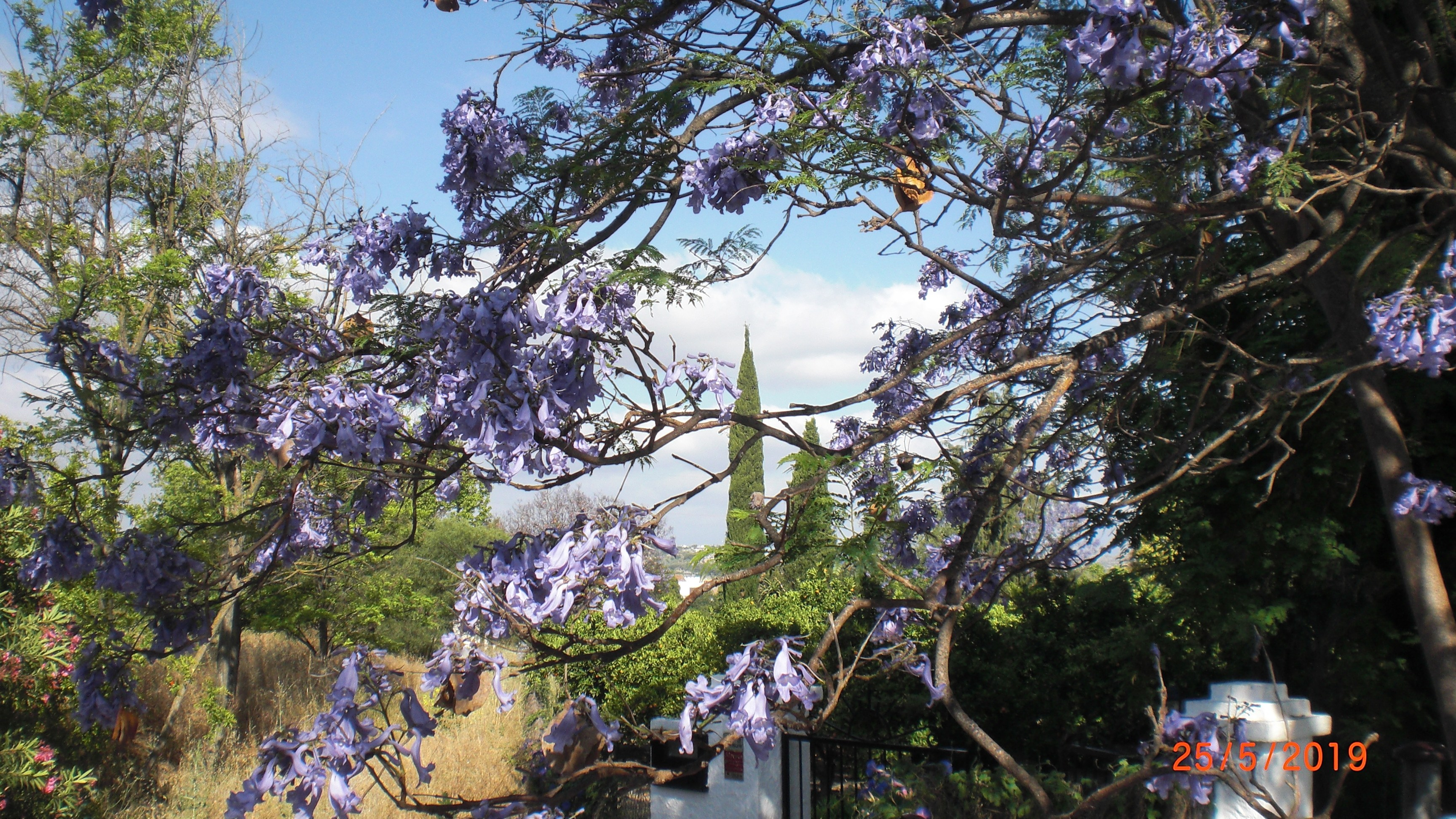 Jacaranda at the entrance