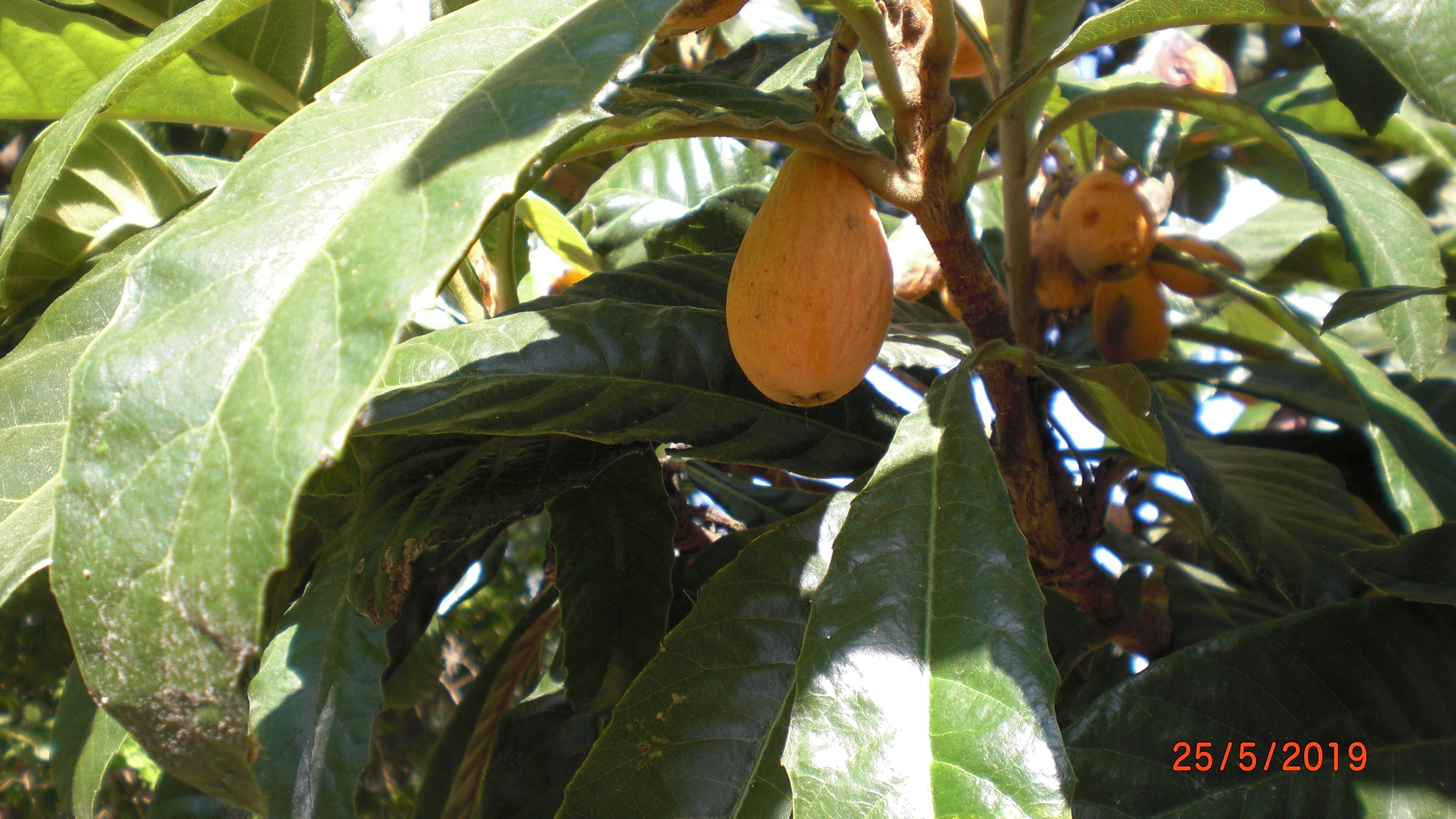 Nispero fruit