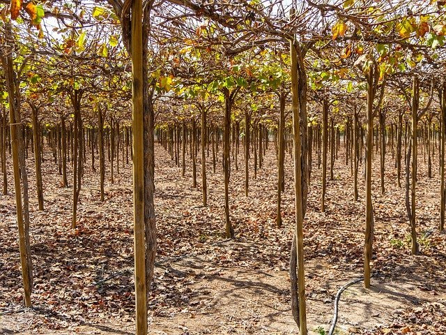 Winegrowing with irrigation system