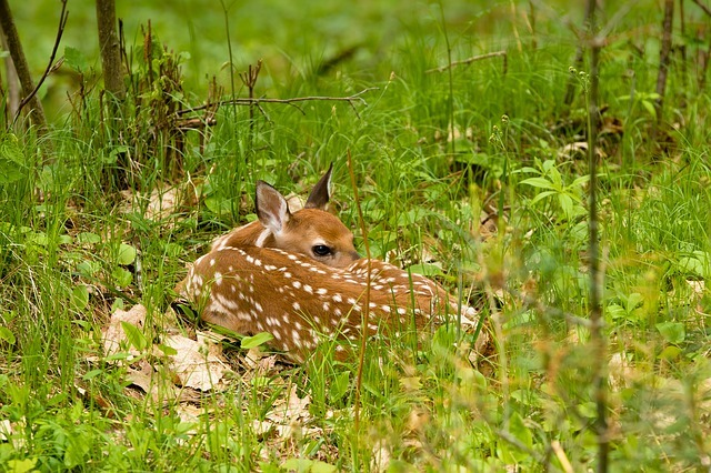 Fawn resting in the grass